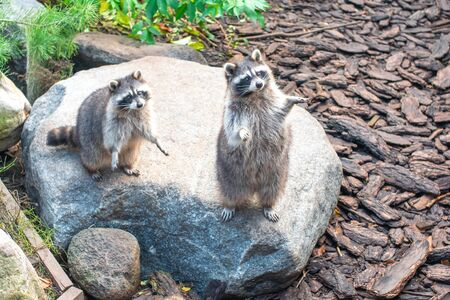 Two cute raccoons are sitting on the stone with their hands open.