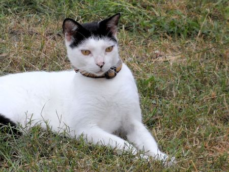 head collar: White cat with black head and ears and yellow eyes and collar sitting in the garden