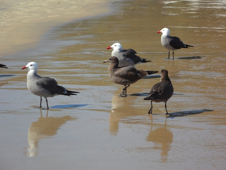 humid: Five Seagulls Standing on Humid Sand; their reflection showing at their feet Stock Photo