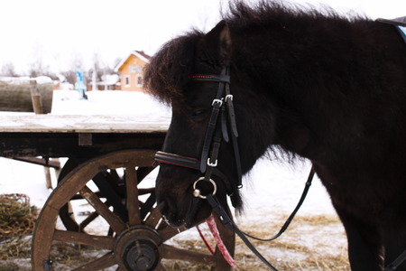 Black pony before cart with wooden wheels on the farm Stock Photo