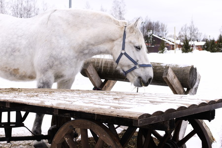 White horse stands between a wooden cart and konovjazju