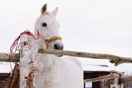 White horse in the Red bridle in Manege on the street Stock Photo