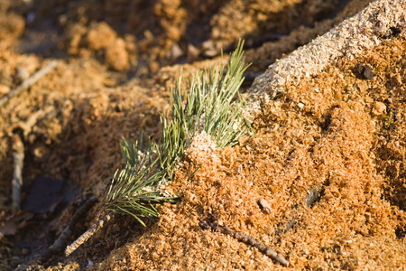 A branch of pine in the sawdust on the harvesting Stock Photo