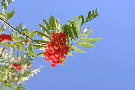 Red rowan berries are sprinkled in a bunch on a green branch against a blue sky in autumn. Harvest natural medicinal plants. 写真素材