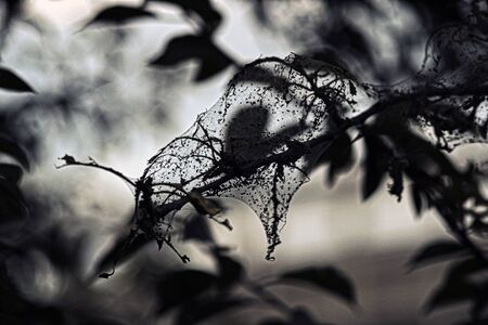 The leaves of plants covered with cobwebs eaten by small insects pests. Reklamní fotografie