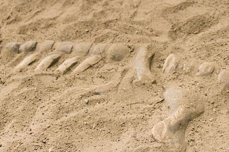 Fossil bones of an ancient animal found in sand during archaeological excavations. Stockfoto