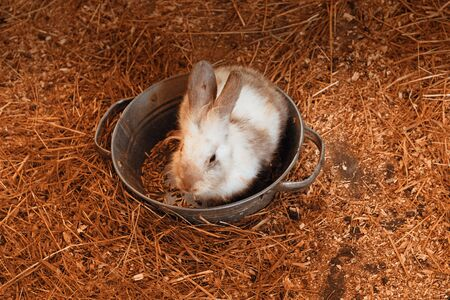 A small cub of a white and black fluffy rabbit comfortably sits in a metal trough with feed on the hedged hay floor on the farm. Easter background nature close-up with copy space Zdjęcie Seryjne