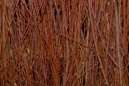 The texture of the dry twisted rods of a red shrub without leaves form a fence Stock Photo