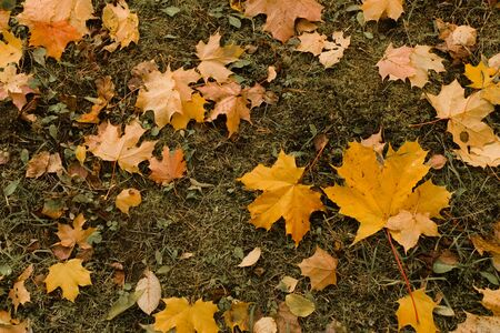 Texture of yellow fallen maple leaves lie on the green grass in a mess in the fall