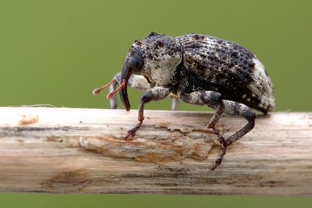 curculionidae: Snout beetles insect