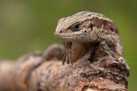 animal viviparous: Sand lizard on a tree branch looking at us