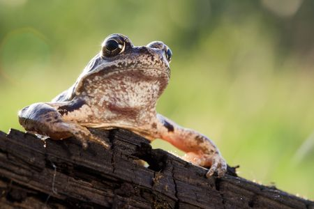 rostrum: Mr. Frog speech on the rostrum to his people