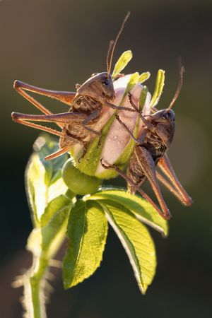 Two grasshoppers sits on the flower in evening light photo
