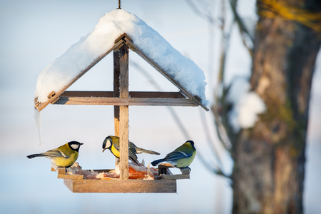 Three tit in the snowy winter bird feeder eating pork fat 免版税图像 - 107498836