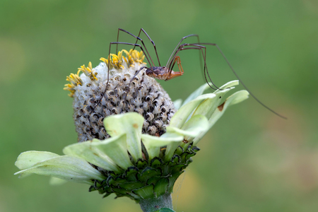 Long-legged spider on Echinacea flower in green background