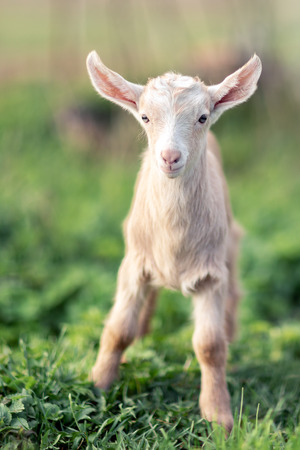 Little lovely young goatling with soft sandy color fur standing on the green grass