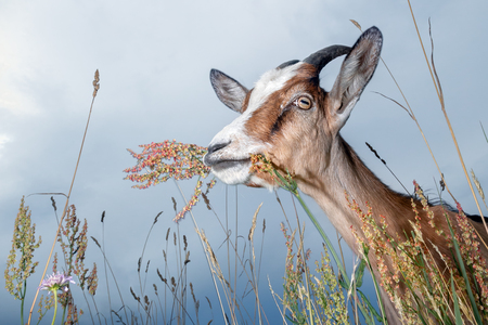 Nice goat in blue sky background, outdoor flowers and bents plants variety