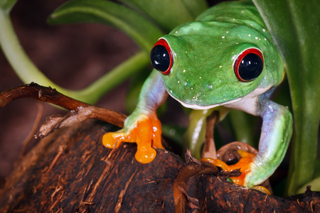 Red eyed tree frog on coconut nutshell