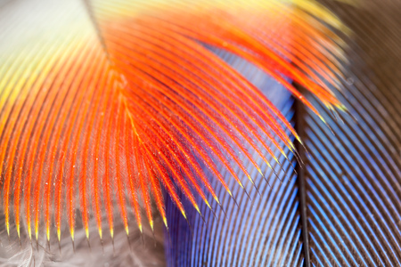 Red Parrot feathers in close Stock Photo