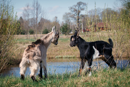 Two young and little goats game of fight near the  water body in the meadow