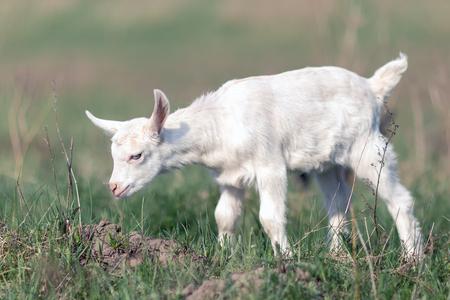 Piccolo simpatico capretto bianco che esplora l'ambiente