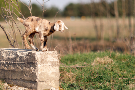Brown spotted nice little goatling standing on a concrete block,  and ready to jump