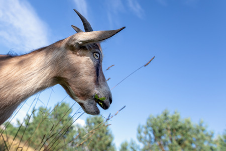 Portrait of a goat in the profile on the blue sky background