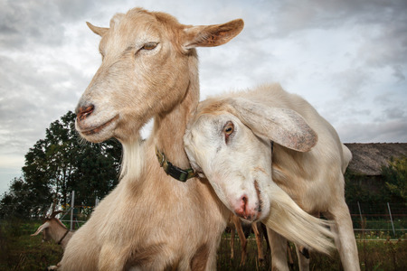Two snuggle up goats Фото со стока