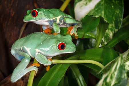 Two red eyed tree frogs playing betweens plants in the terrarium