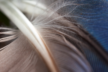 Grey and blue parrot feathers