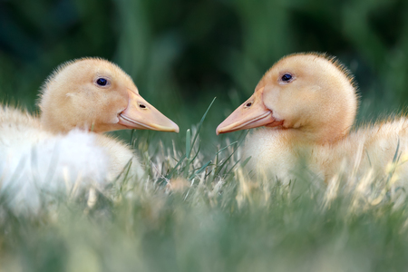 Two nice ducklings one against another lie on the grass and warmed up in the sun Stock Photo