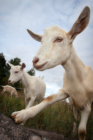 Goat shows her hoof Stock Photo