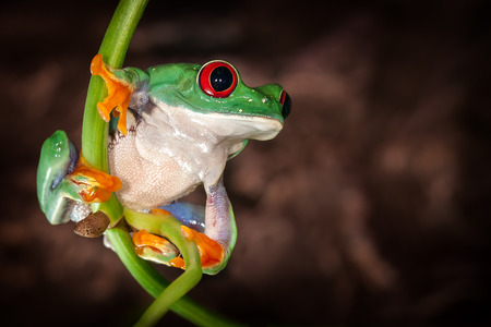 The tree frogs yoga on the plant stem in dark brown background