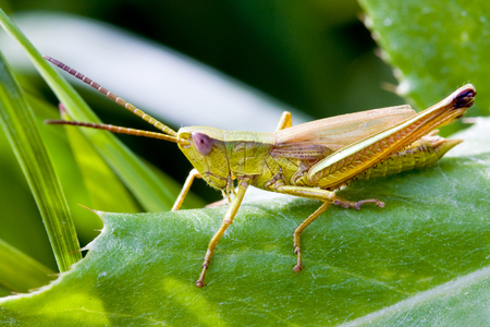 Locust with big antennas