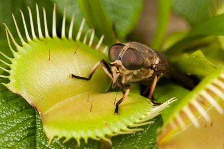 Horse-fly et flytrap ouvert