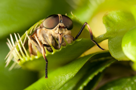 Paardevlieg en gesloten vliegenval