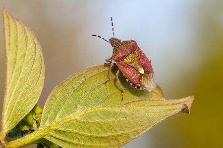 Shield Bug closeup portrait on green leaf