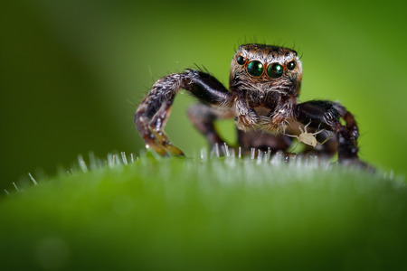 Jumping spider and the little and very brave aphis on the carnivorous plant