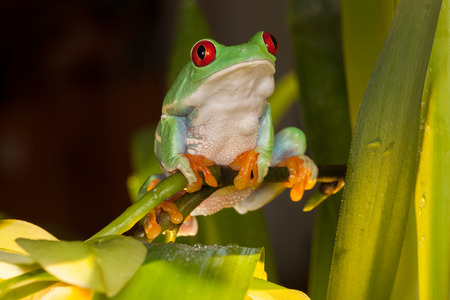 Red-eyed tree frogs playing between orchids