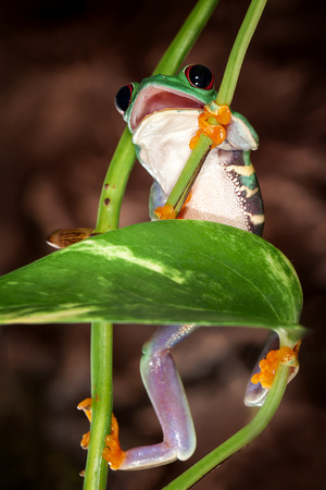 Red eyed tree frog with open mouth climbs up on the plant stem