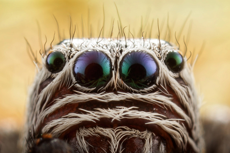Jumping spider portrait in close