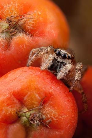 Jumping spider and orange rowan fruits