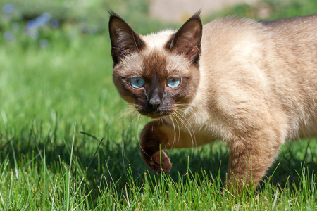 Siamese cat walking on the grass