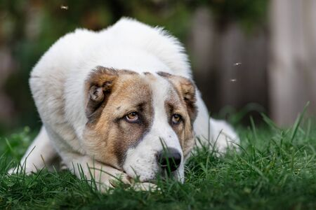 Pensive Asian Shepherd dog laying on the green grass and flies Archivio Fotografico