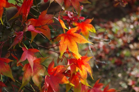 Acer palmatum osazuki leaves in autumn colour Stock Photo - 21748208