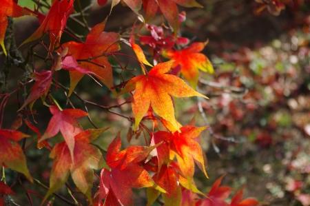 acer palmatum: Acer palmatum osazuki leaves in autumn colour