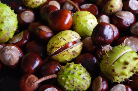conkers: Horse chestnut conker fruits and cases
