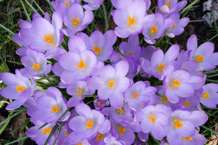Purple crocus flowers, radiating effect