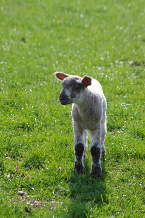 Solitary lamb in green field with space around Stock Photo