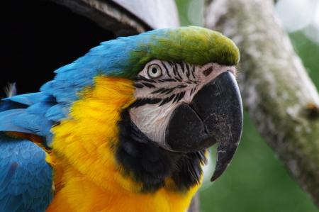 Blue and yellow macaw, Ara ararauna